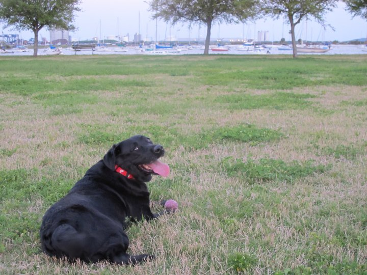 Labrador retriever playing fetch near the water in Florida | The Champagne Supernova